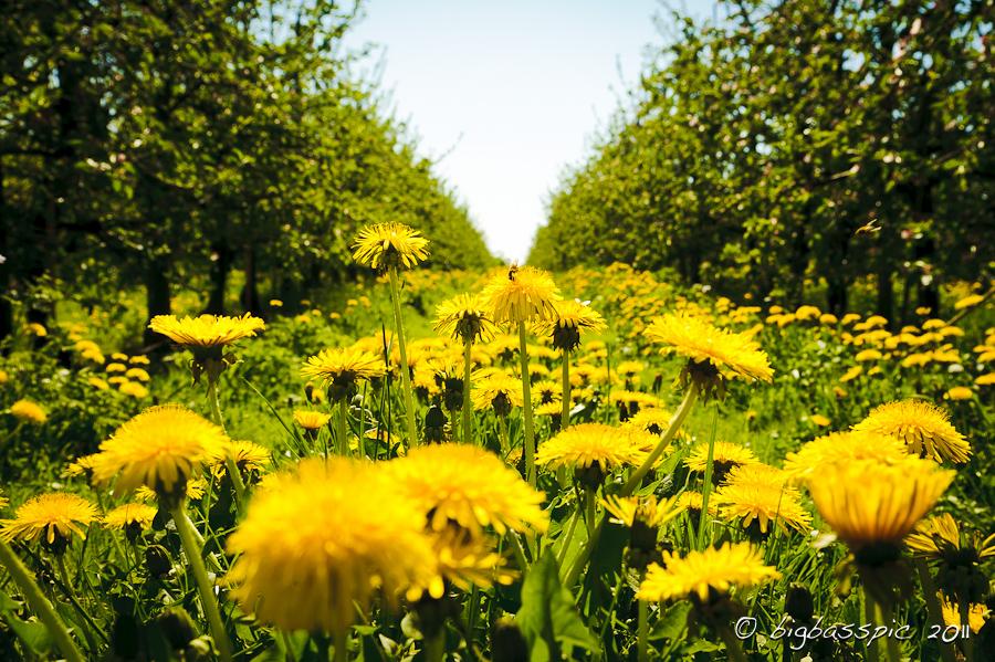 Altes Land, Löwenzahn mit Biene